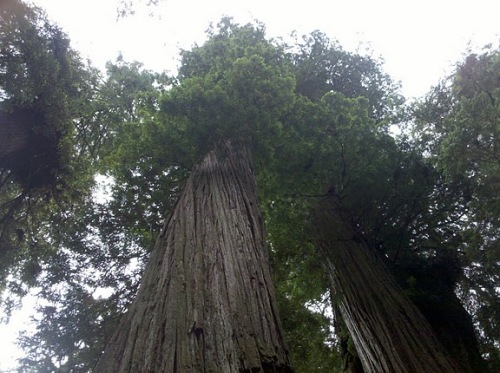 Looking up at the tops of some redwoods